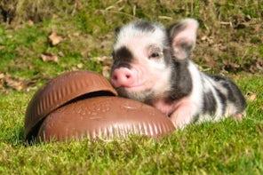 Easter-piggy-624x415.jpg
