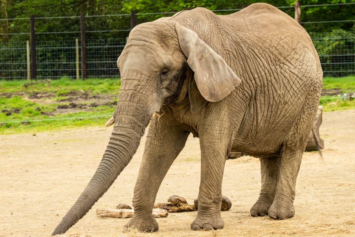African Elephant | John Fowler caravan holidays UK