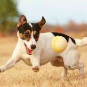 Jack Russell | Playing With A Ball | In A Field