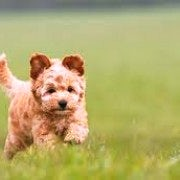 Cockapoo Puppy | Running | In A Field
