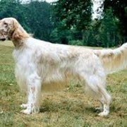 English Setter | Standing | To Attention