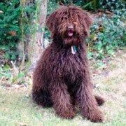 Labradoodle | Chocolate Brown | Sitting Down