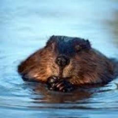 Wild Beaver | John Fowler Devon Holidays
