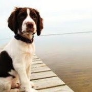 Spaniel | Sat On A Boardwalk | Waiting To Play Ball