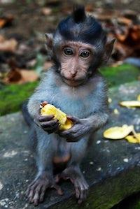 Baby Monkey | Holding Banana | Paignton Zoo