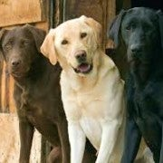 Labrador Retrievers | Chocolate Golden Black | Sat Together
