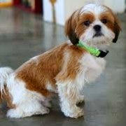 Shih Tzu | Sitting Side On | Well Behaved