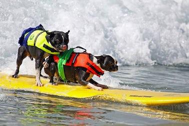 Surf City Surf Dog | John Fowler Pet Friendly Holidays
